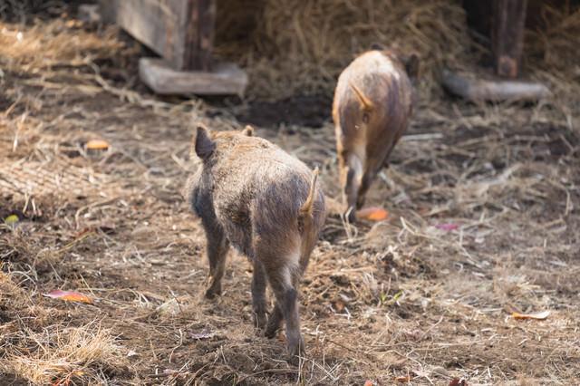 猪の後ろ姿(2頭)の写真