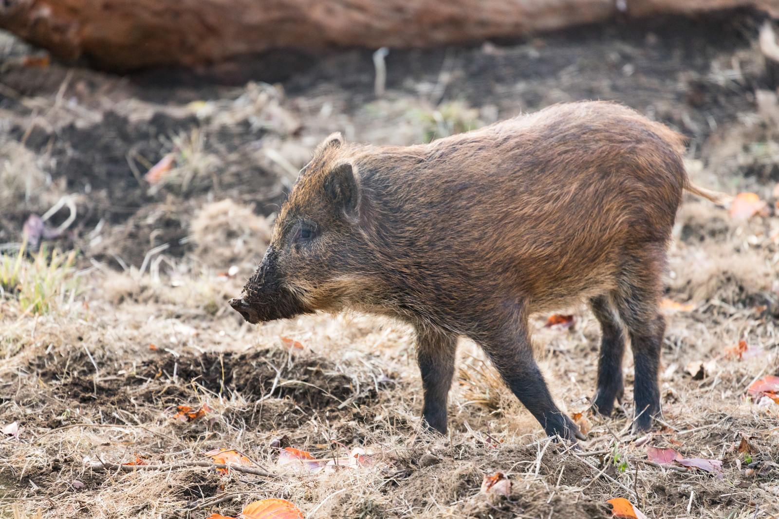 「穴掘りすぎて鼻が泥だらけの猪」の写真