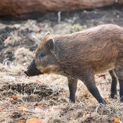 穴掘りすぎて鼻が泥だらけの猪の写真