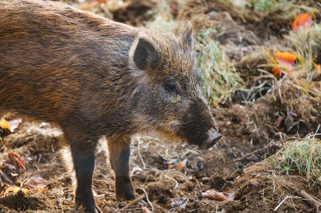 目つき鋭い猪