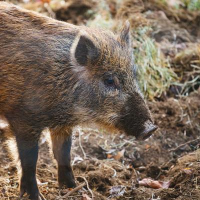 目つき鋭い猪の写真