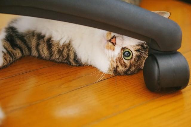 椅子の脚の隙間から覗き込む猫の写真