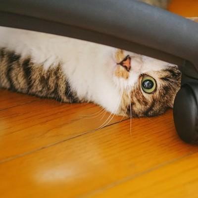 「椅子の脚の隙間から覗き込む猫」の写真素材