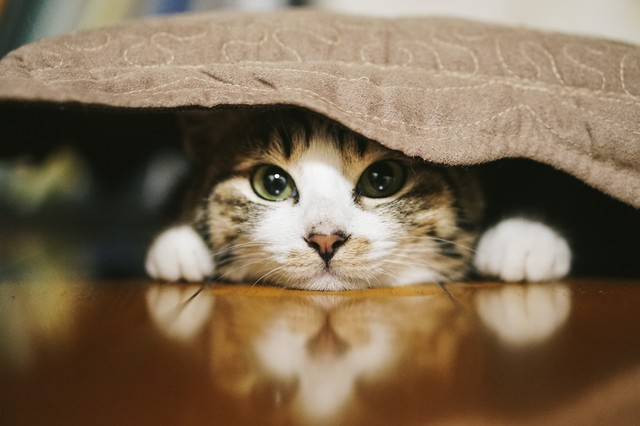 座布団の下に潜む猫の写真