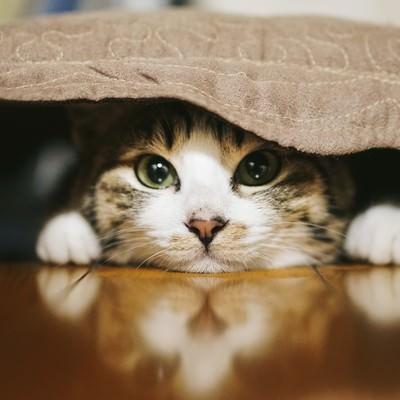 「座布団の下に潜む猫」の写真素材