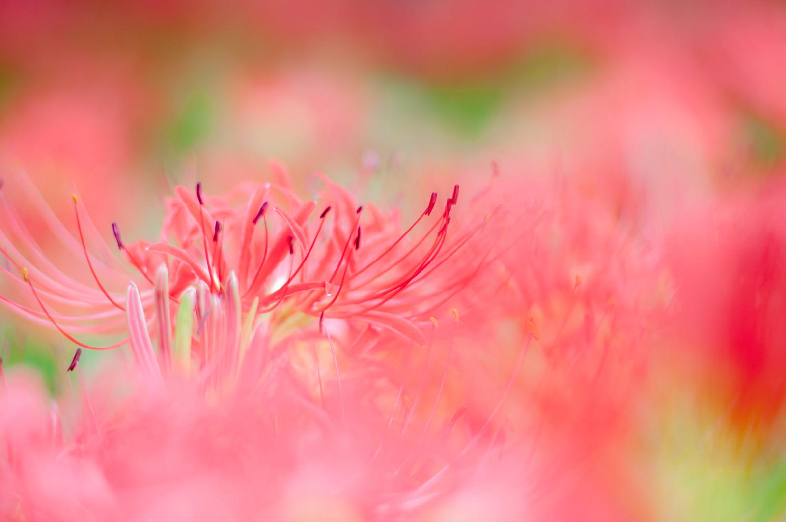 「風に揺られる彼岸花」の写真