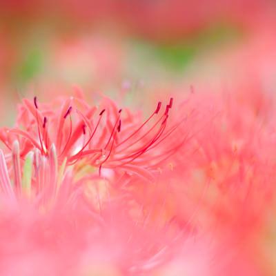 「風にゆれる彼岸花」の写真素材