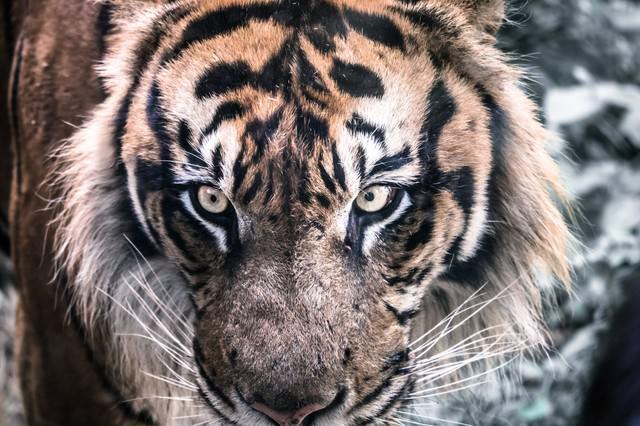 虎(正面)の写真