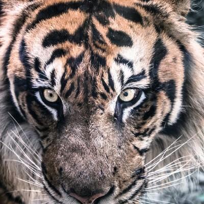 「虎(正面)」の写真素材