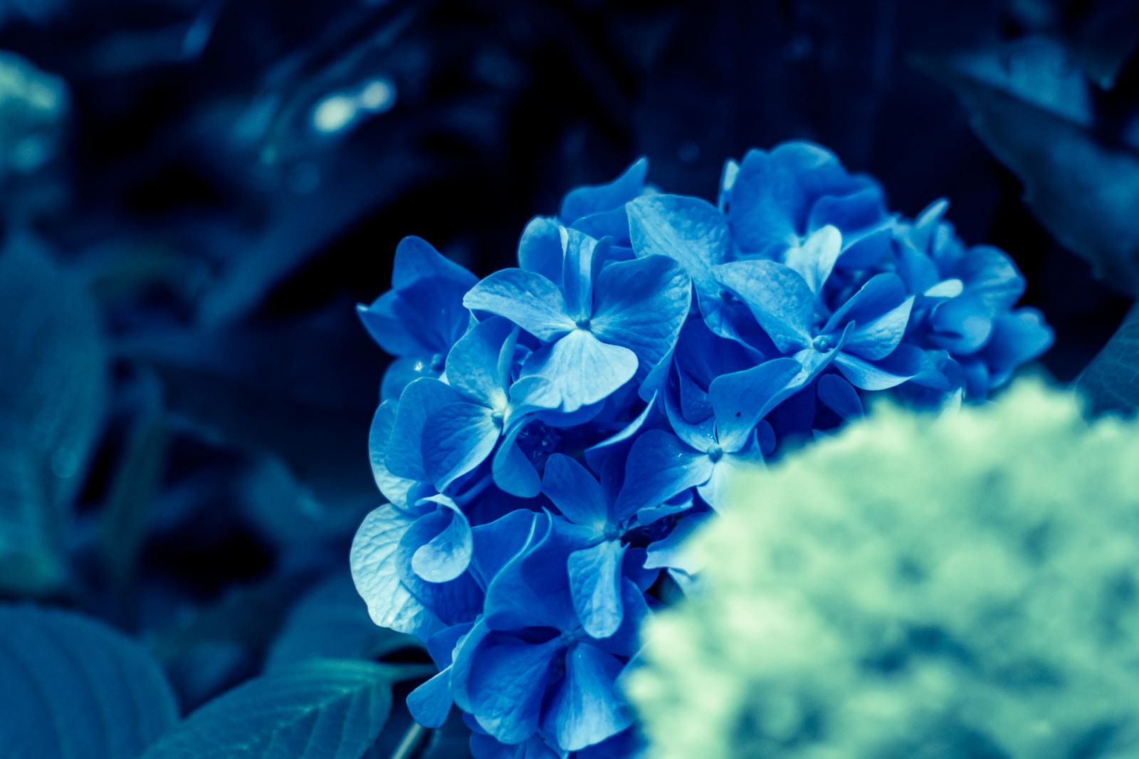 「あじさいの花あじさいの花」のフリー写真素材を拡大