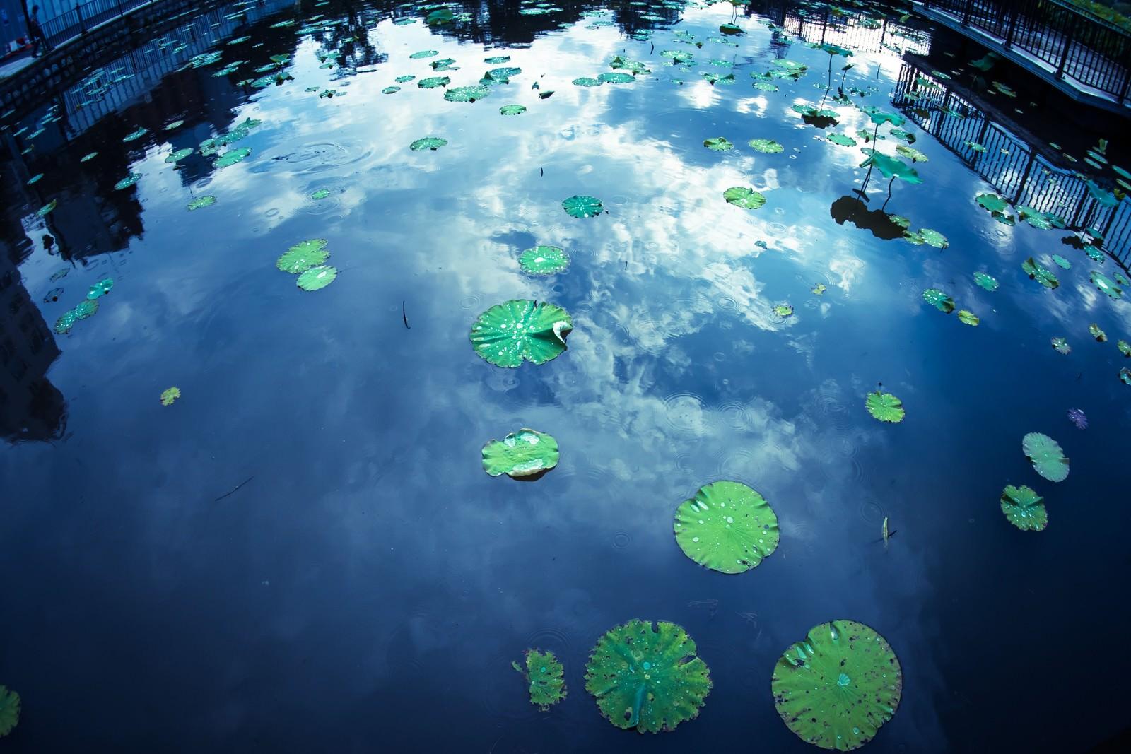 「蓮と水面に反射する空」の写真