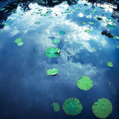 蓮と水面に反射する空の写真
