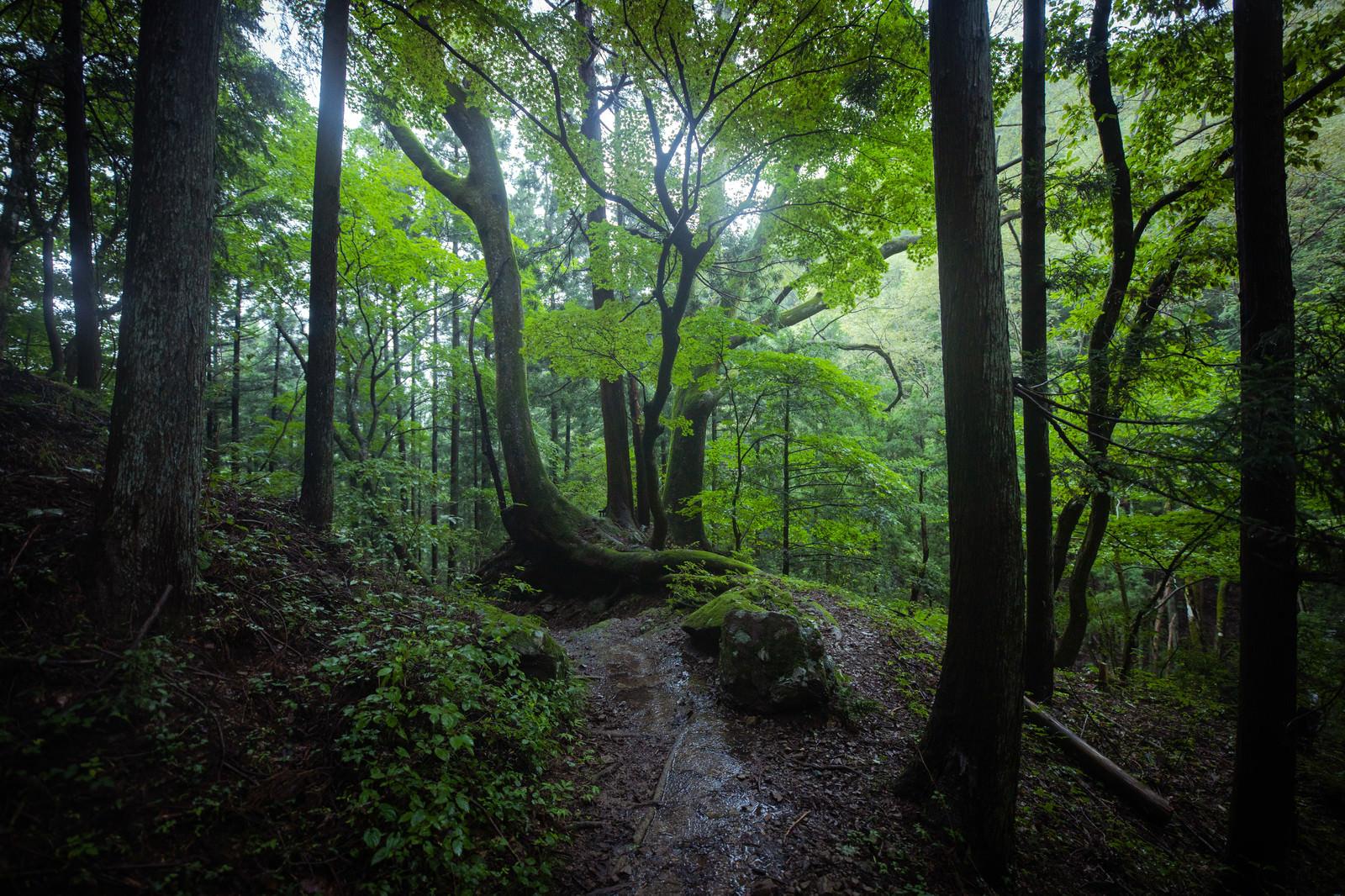 「湿気の高い森の中を進む」の写真