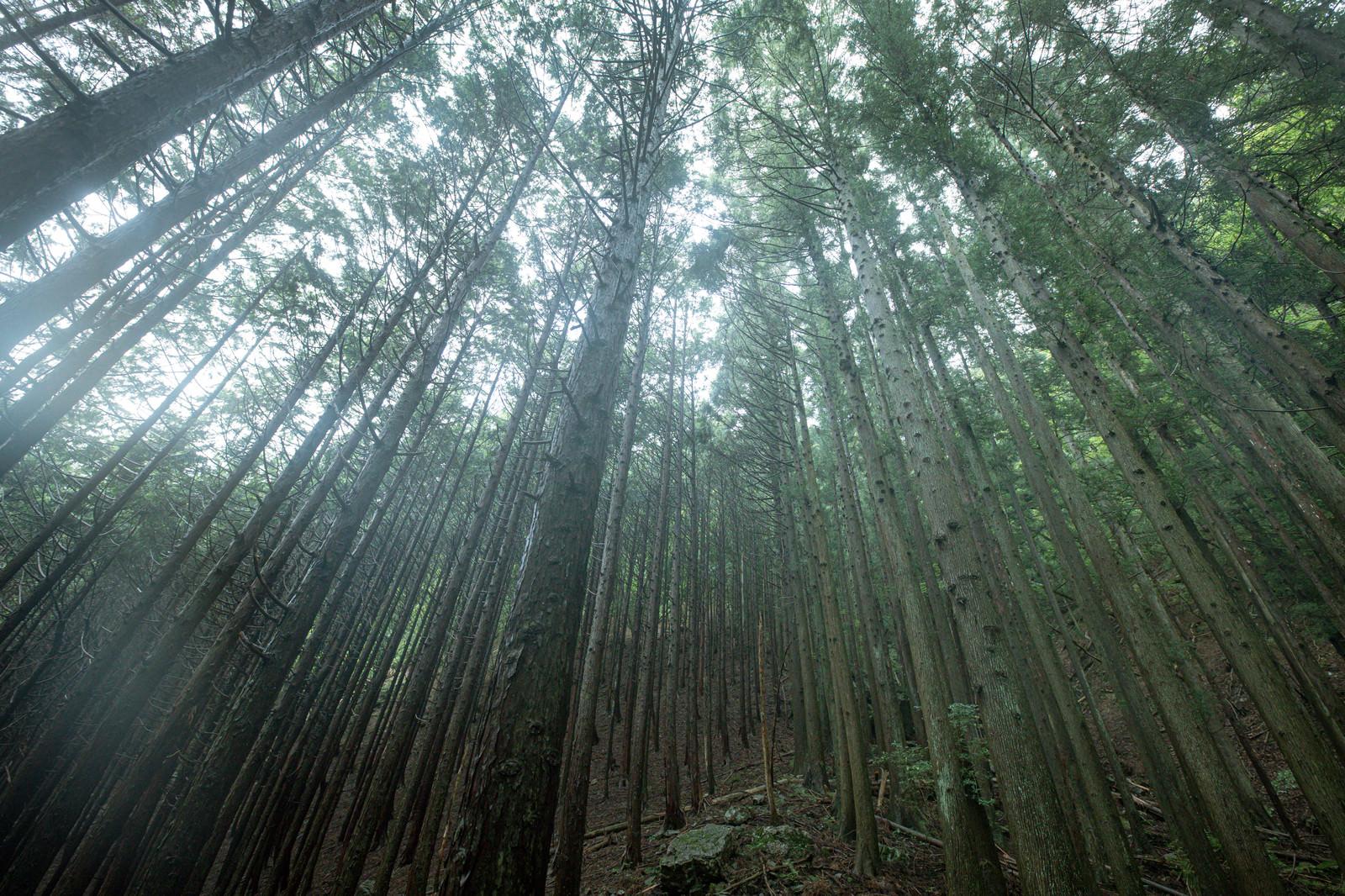 「植林された杉の木」の写真