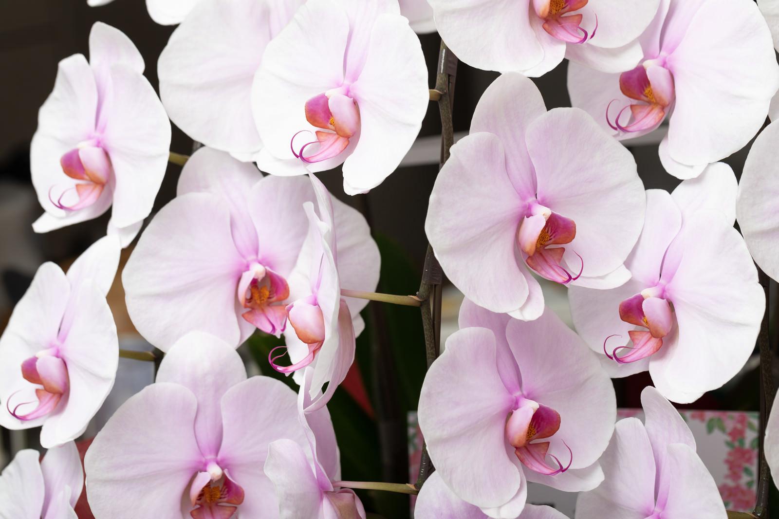 「大きい薄色ピンク色の胡蝶蘭」の写真