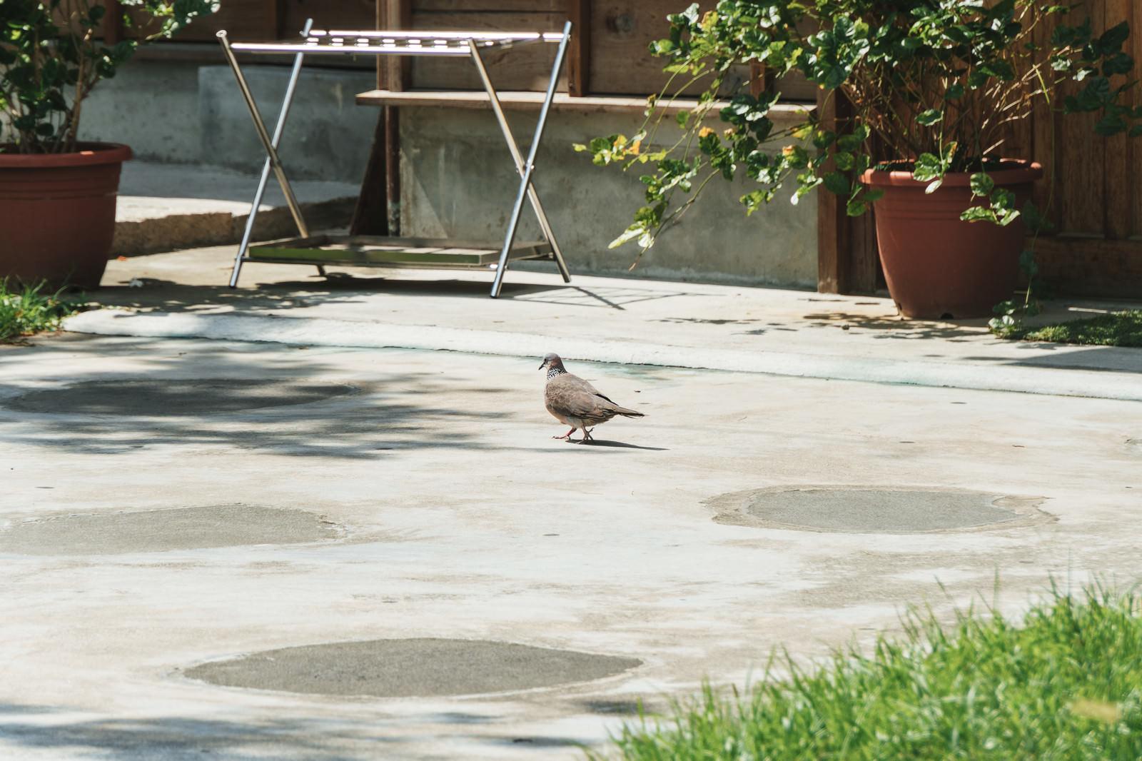 「庭を歩く鳩さん」の写真