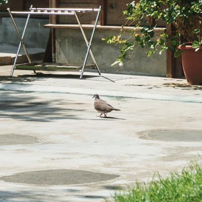 庭を歩く鳩さんの写真