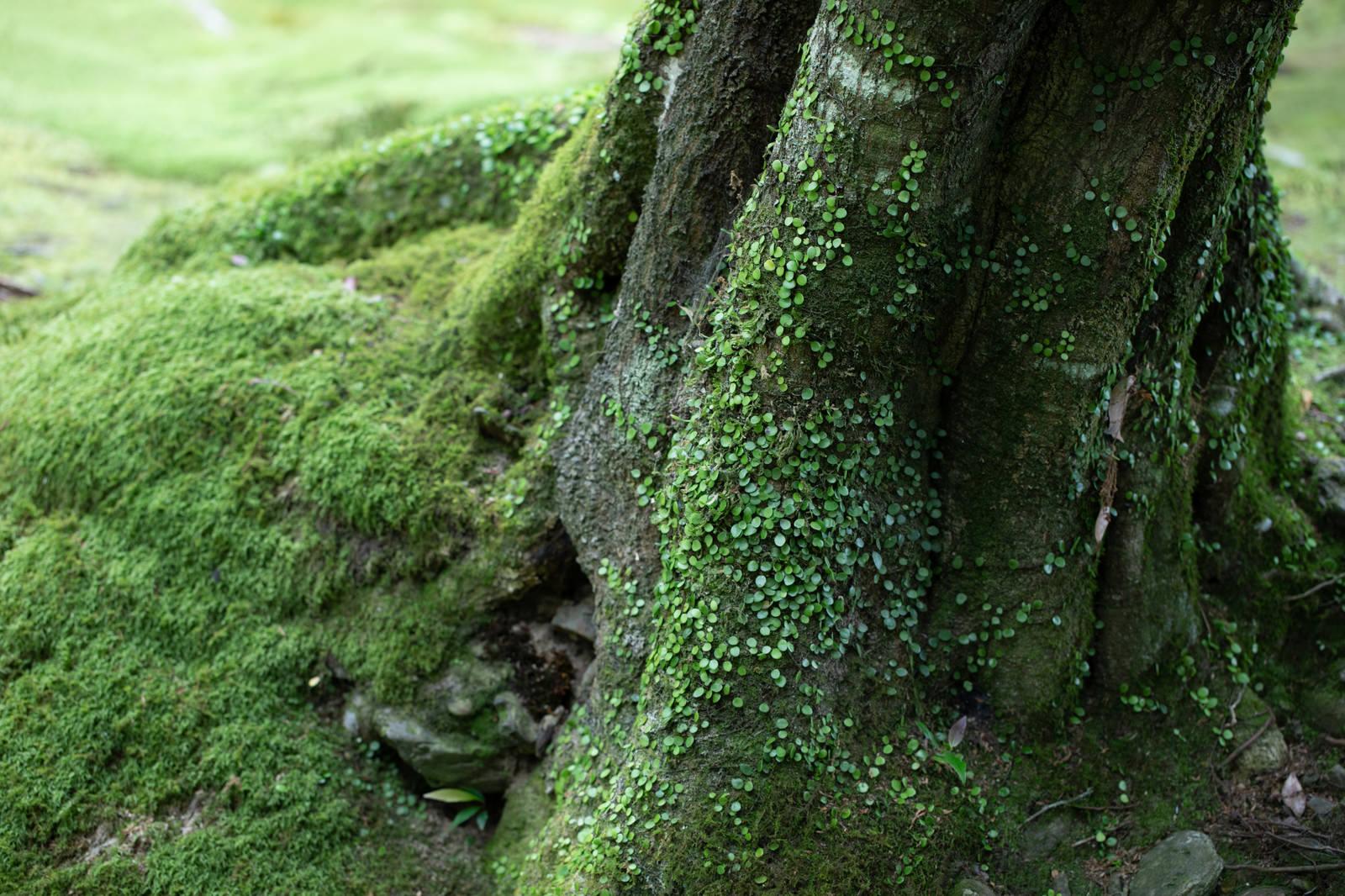 「木の根元に生える苔木の根元に生える苔」のフリー写真素材を拡大