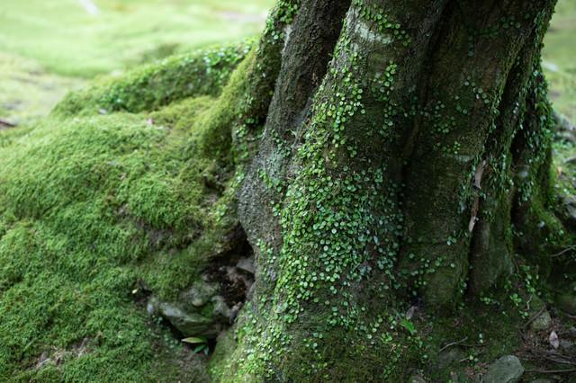 木の根元に生える苔の写真