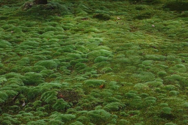 地面をもこもこする苔の写真