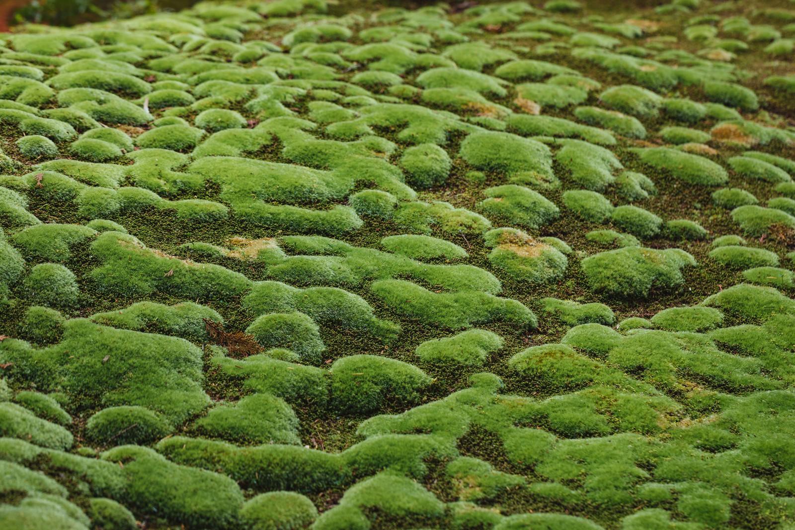 「まだら模様の苔もっこり」の写真
