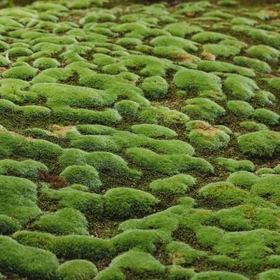 まだら模様の苔もっこりの写真