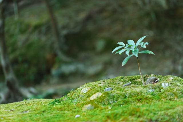 苔の中の苗木の写真