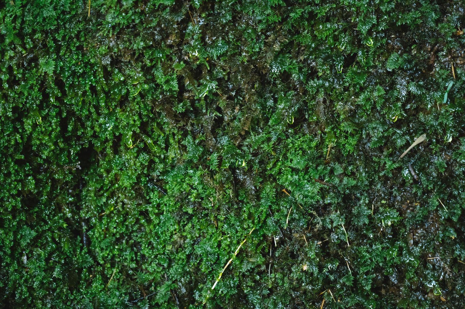 「湧水で濡れる苔の様子湧水で濡れる苔の様子」のフリー写真素材を拡大
