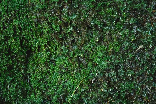 湧水で濡れる苔の様子の写真