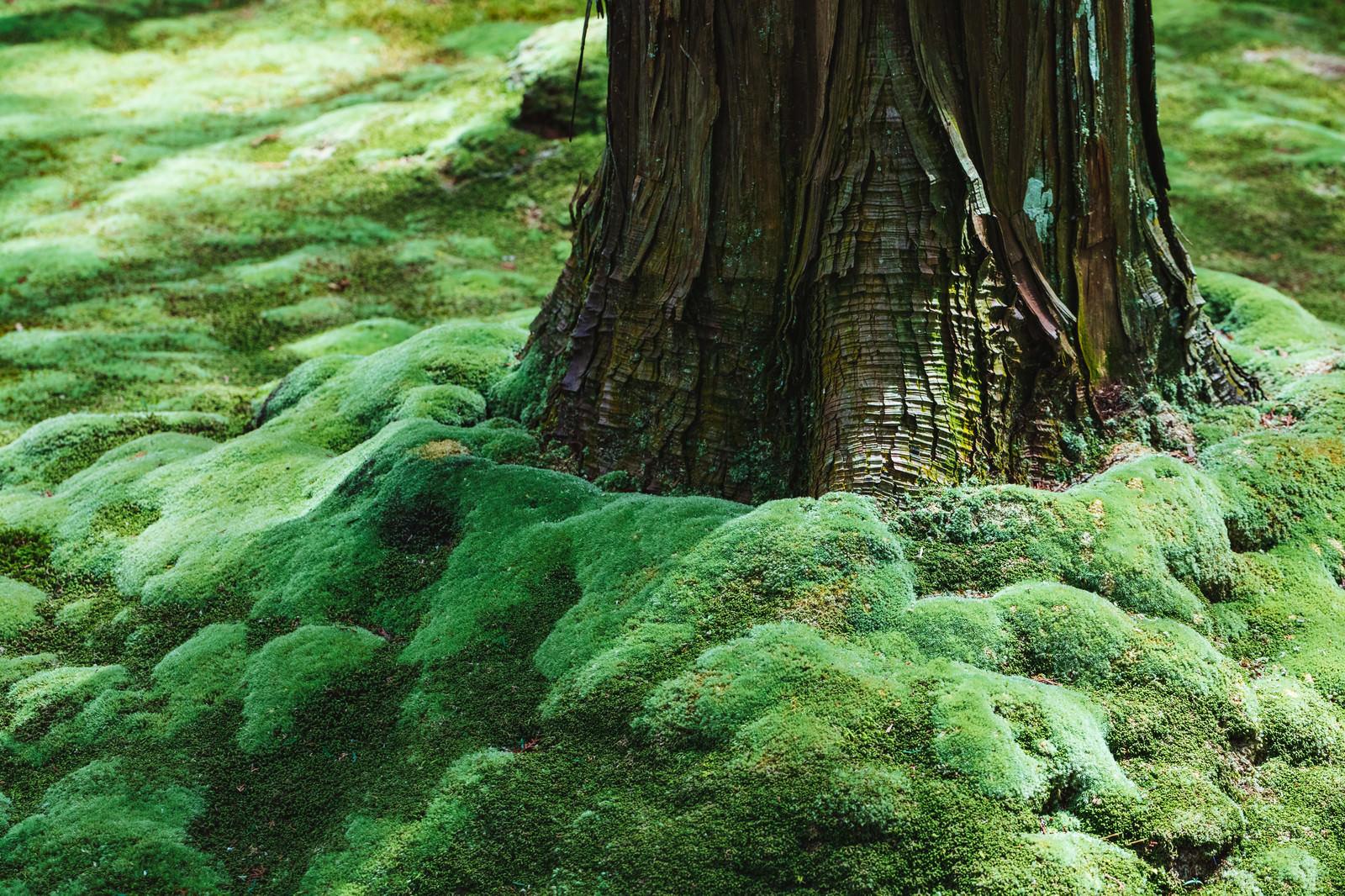 「木の根元のもこもこ苔木の根元のもこもこ苔」のフリー写真素材を拡大