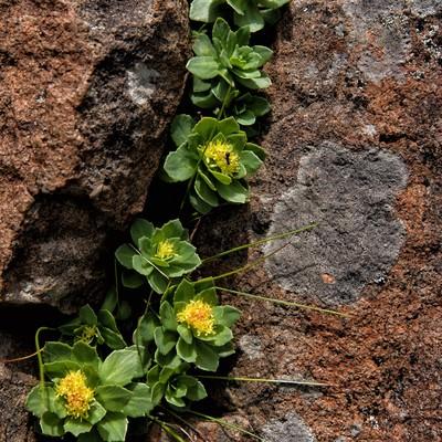 岩壁から顔を出す高山植物の写真