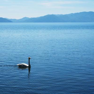 猪苗代湖を悠々と泳ぐ白鳥の写真