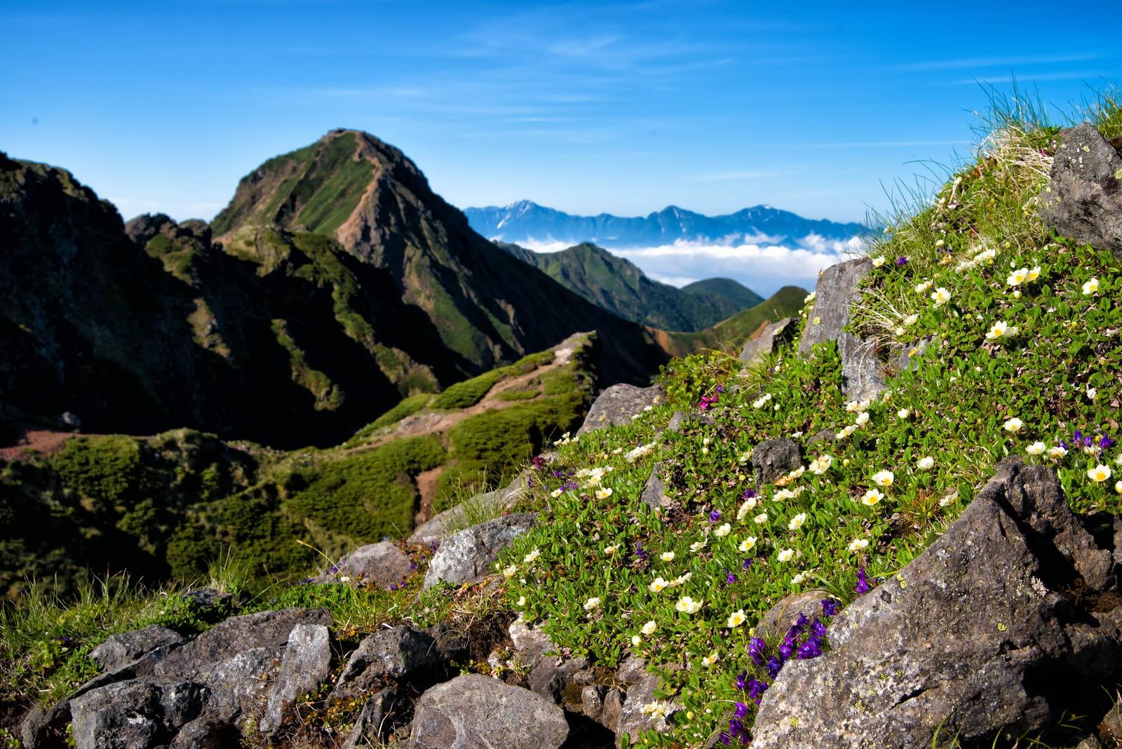 「赤岳に生息する高山植物」の写真