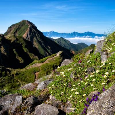 赤岳に生息する高山植物の写真