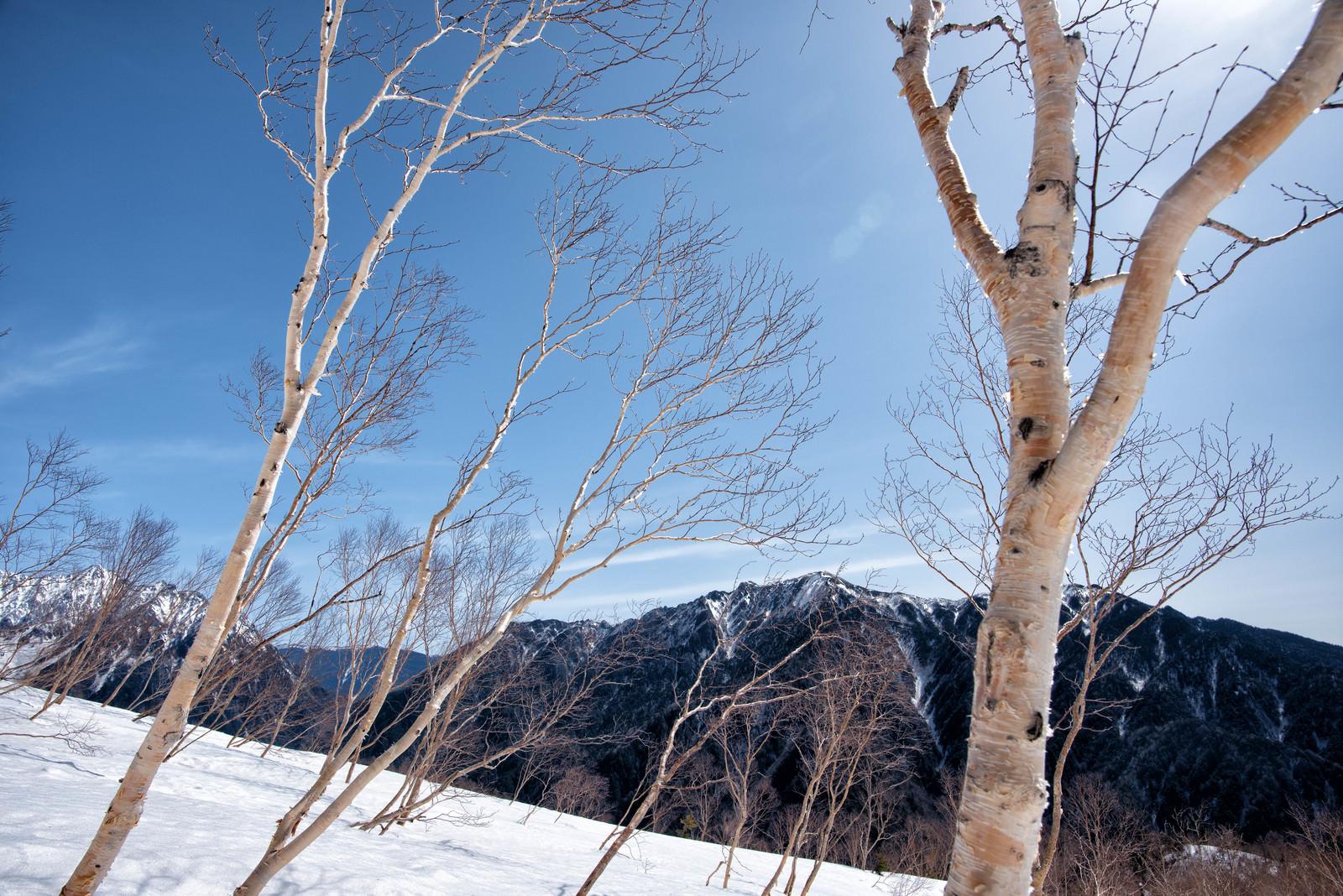 「焼岳斜面に群生するダケカンバ」の写真