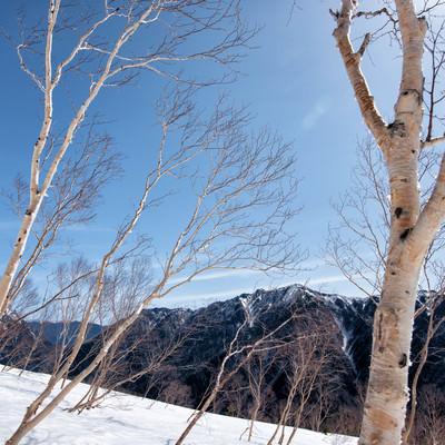 焼岳斜面に群生するダケカンバの写真