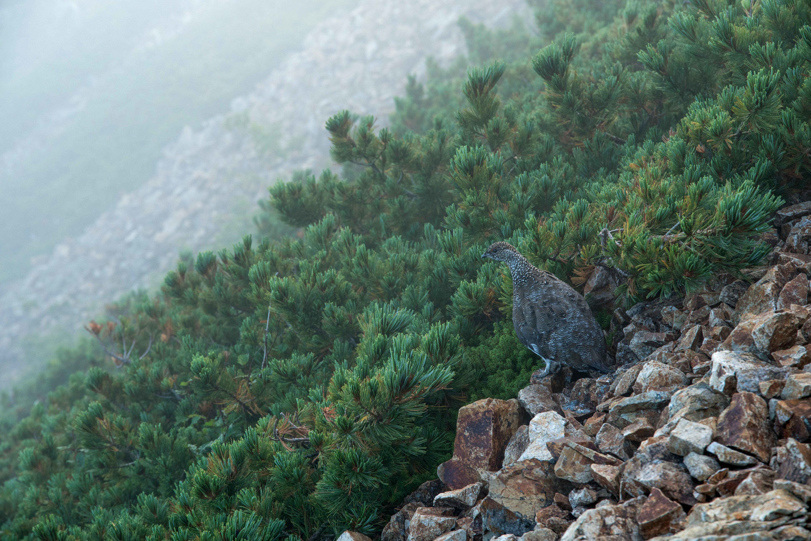 「朝霧の中のライチョウ」の写真