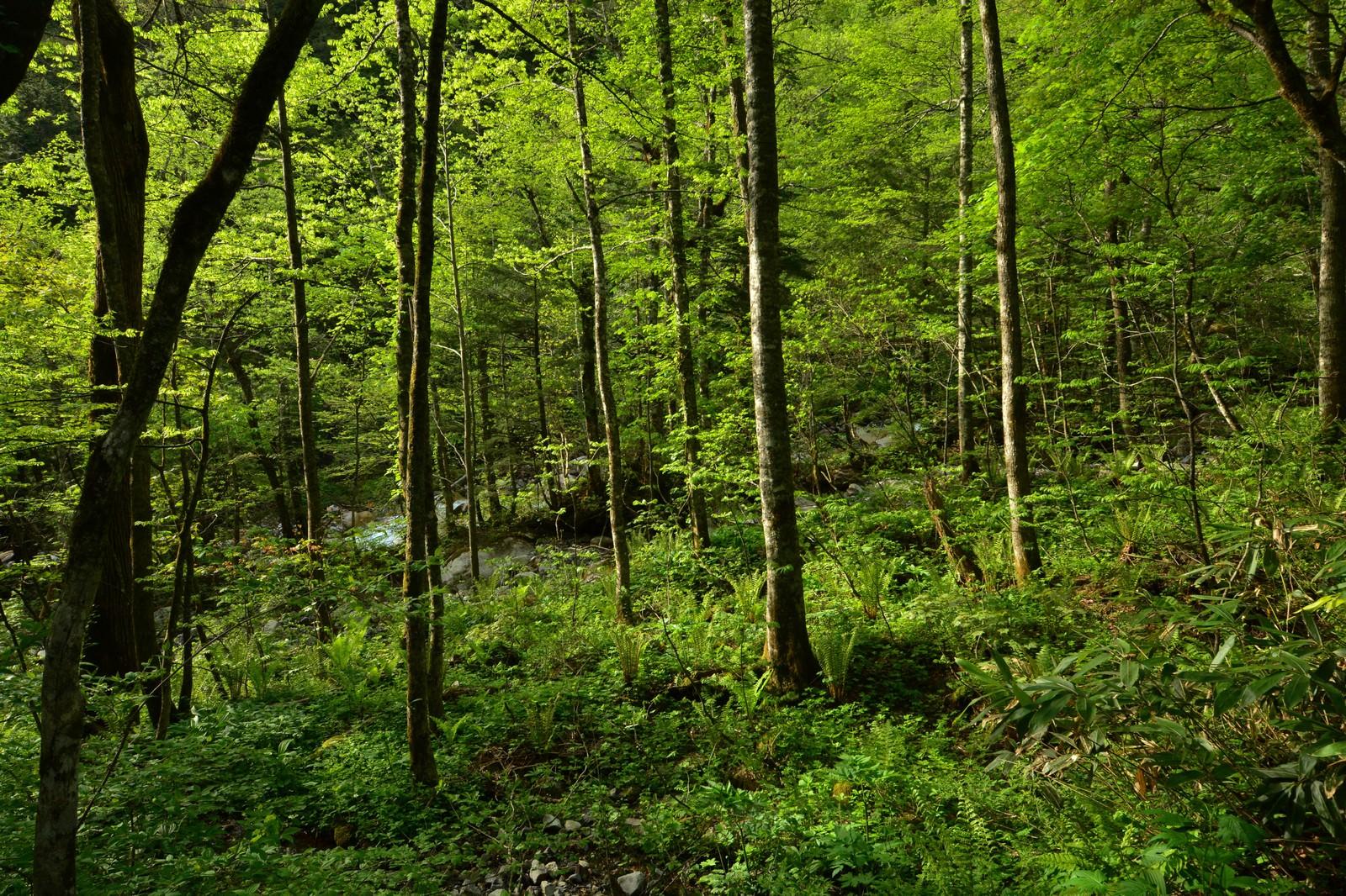 「北アルプスの森」の写真