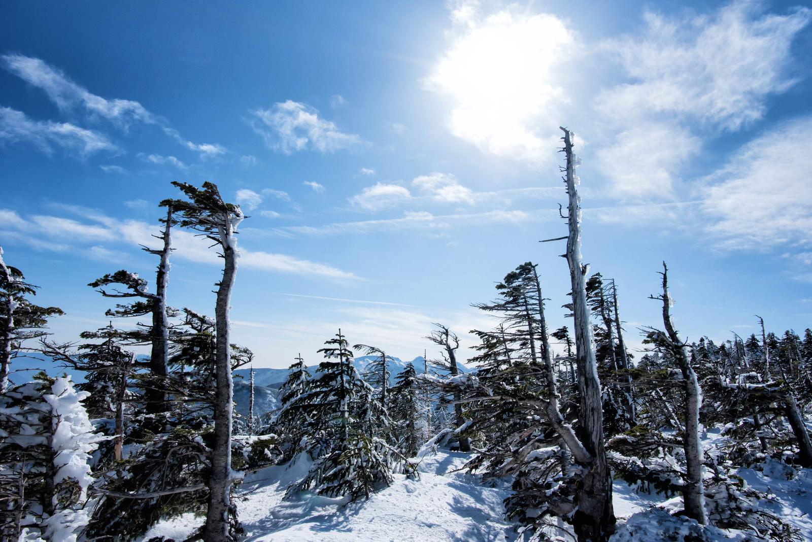 「厳冬期のしらびそ林」の写真