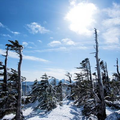 厳冬期のしらびそ林の写真