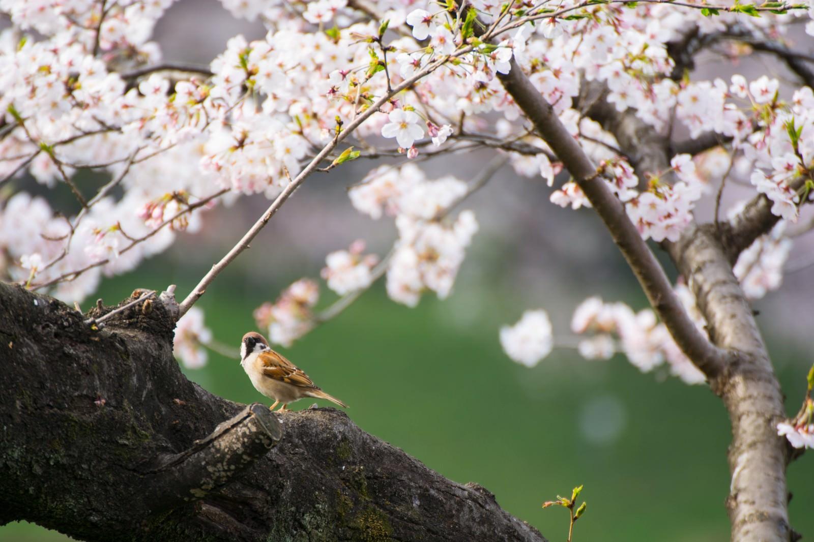 「桜とすずめ」の写真