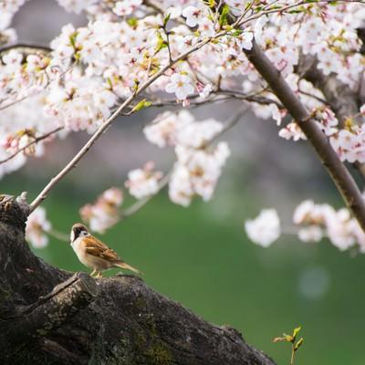 桜とすずめの写真