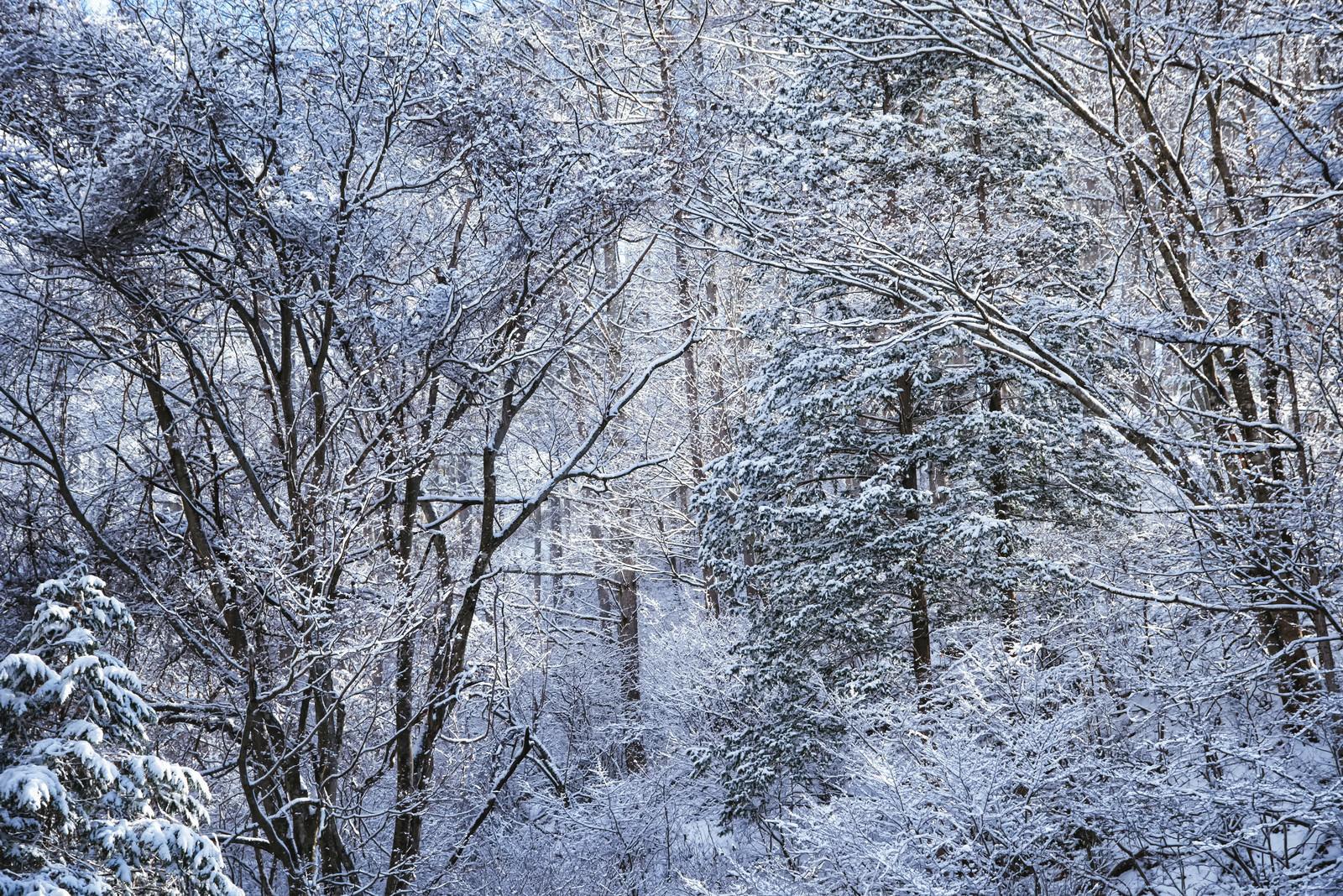 「幻想的な冬の白い森」の写真