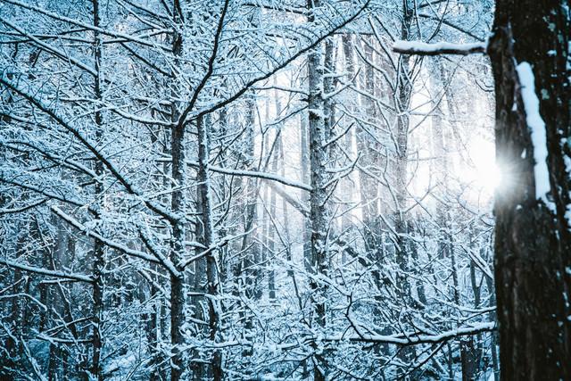 雪降る森に差し込む光の写真