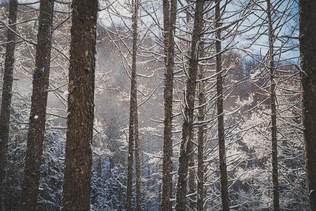 垂れ雪がきらめく森の写真