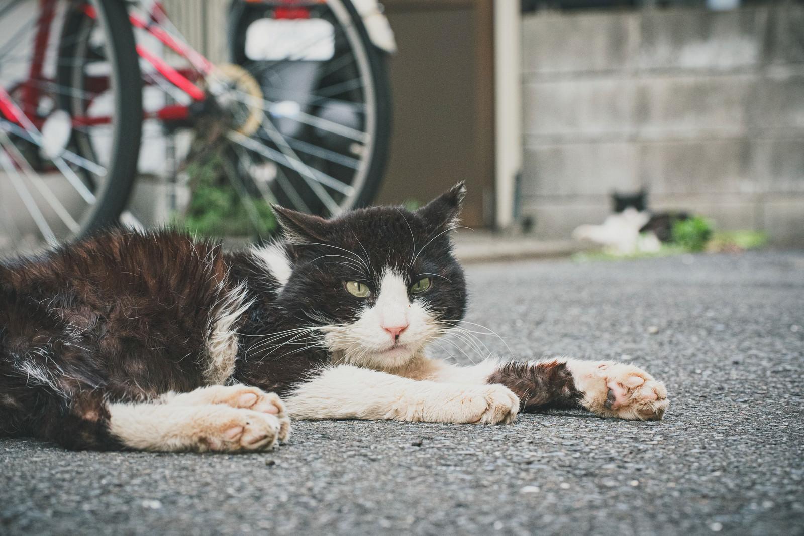 「路地裏に伏せる野良猫」の写真