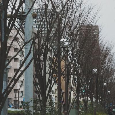 「葉が落ちた街路樹」の写真素材