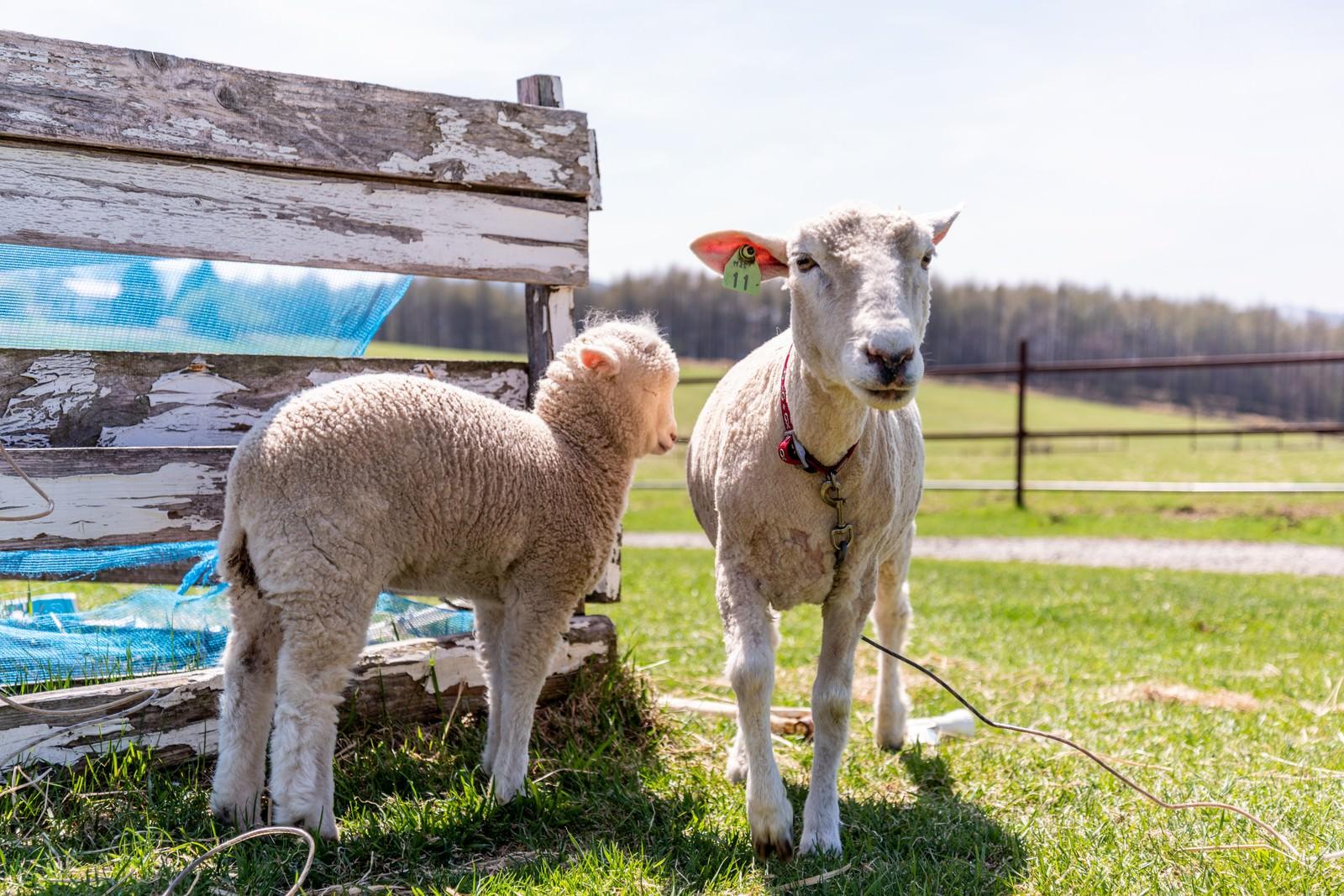 「牧場でのんびりする羊」の写真