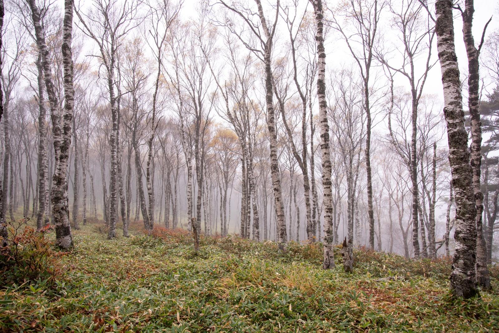 「霧に包まれた白樺の林(白樺平)」の写真