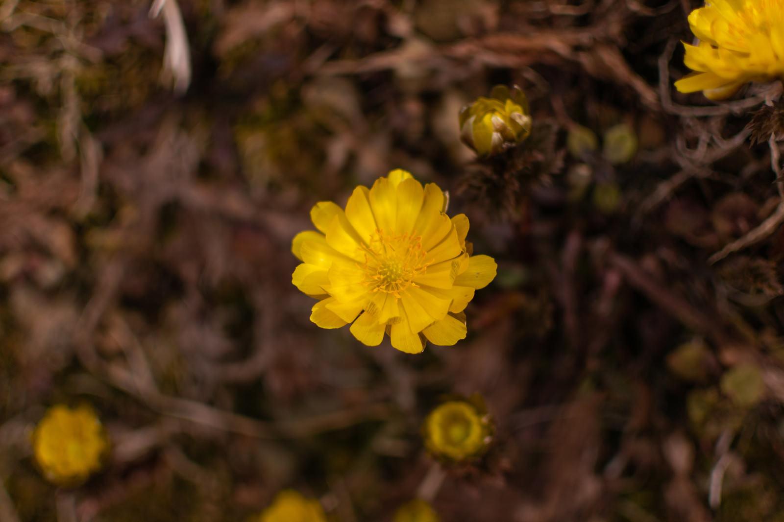 「春を知らせる福寿草(余里)」の写真